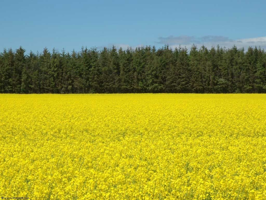 Yellow Rape Field.
