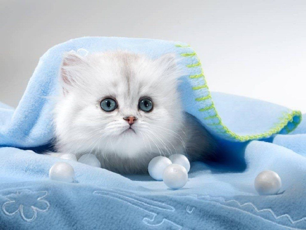 Kitten Animals Cats Blue White Blanket Funny Cat Wallpapers