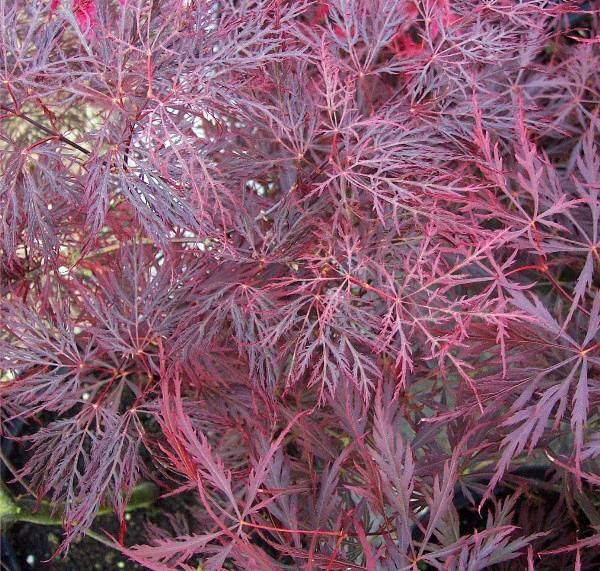 Acer Palmatum Red Filigree Lace Japanese Maples Acer Japon