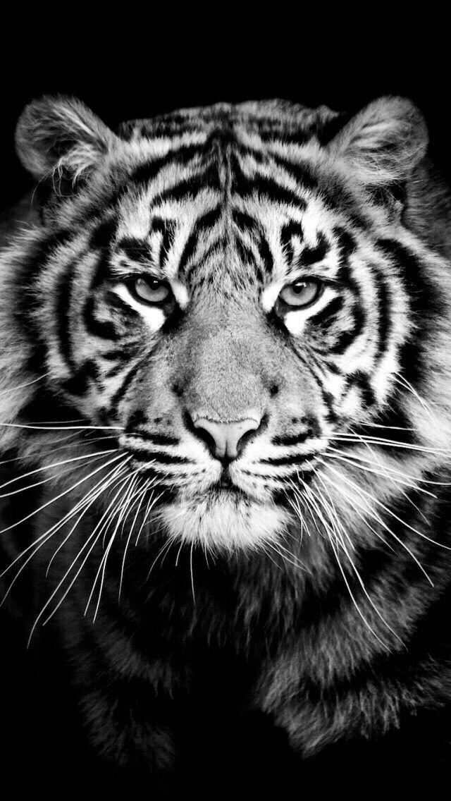 Wallpaper Iphone Foto Tigre Sfondi
