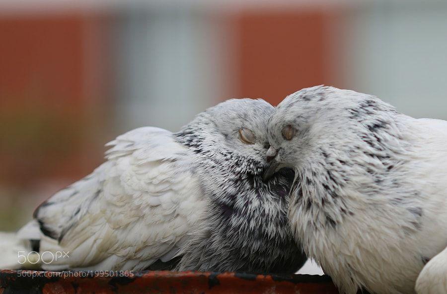 Pigeons BRo3 by Ashraf1976 via http://ift.tt/2m7XY0U