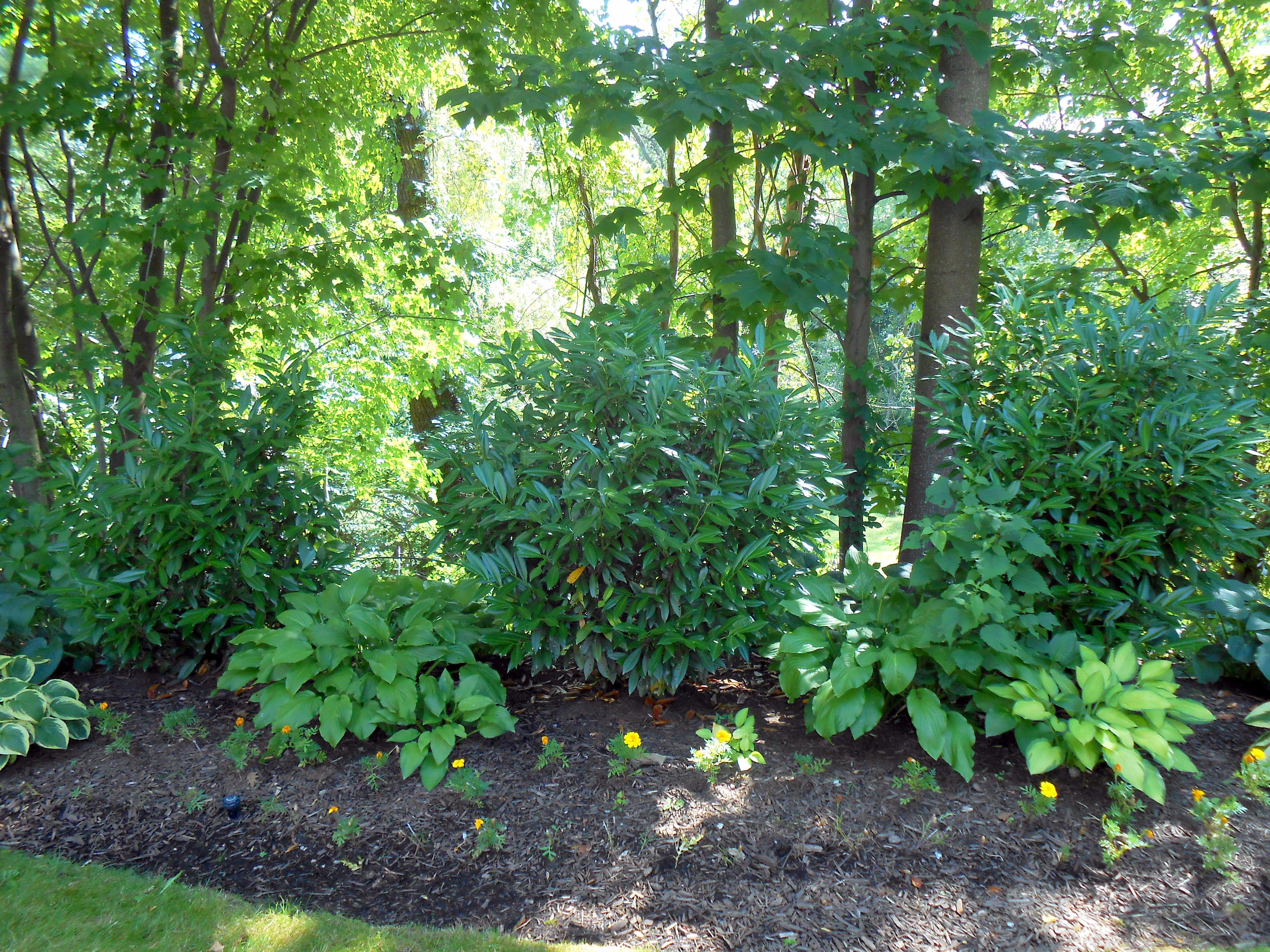 tall shade-loving bushes