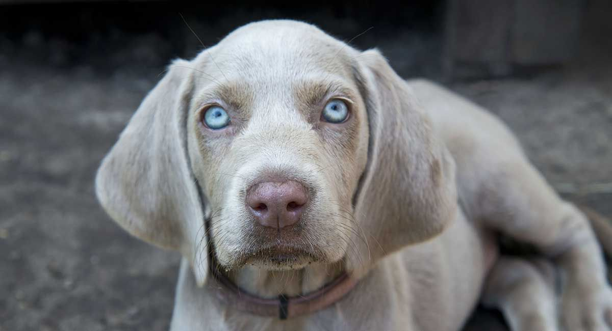 7 Dogs With Absolutely Breathtaking Blue Eyes Pet Lovers Grey