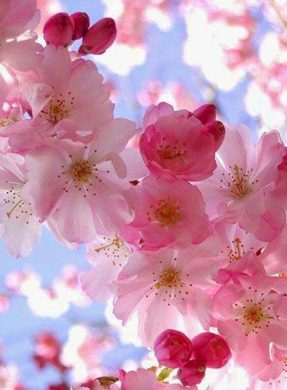 Cerezos En Flor Flowers Cerezo Flores Floral