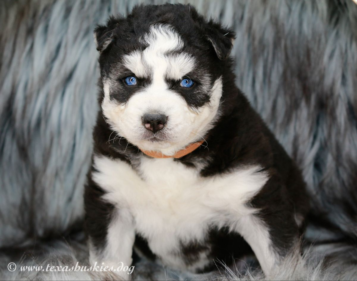 Siberian Kittens Available Texas