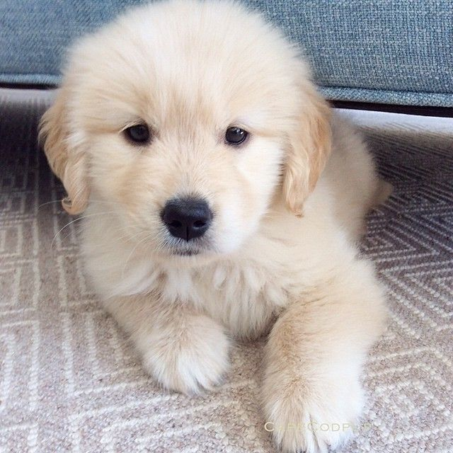 Golden Retriever Puppy Puppies Retriever Puppy Dogs And Puppies