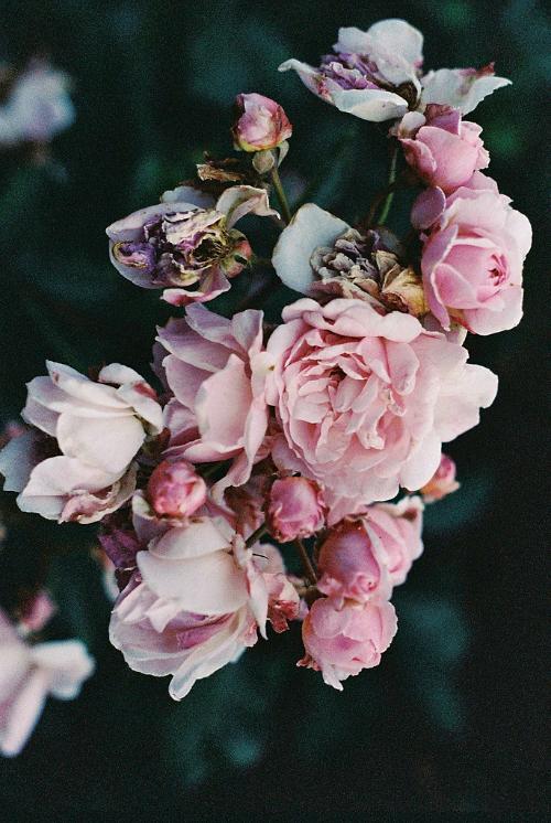 Pin By Brunella Blotto On Fiori Rosa Cipria Flowers Beautiful