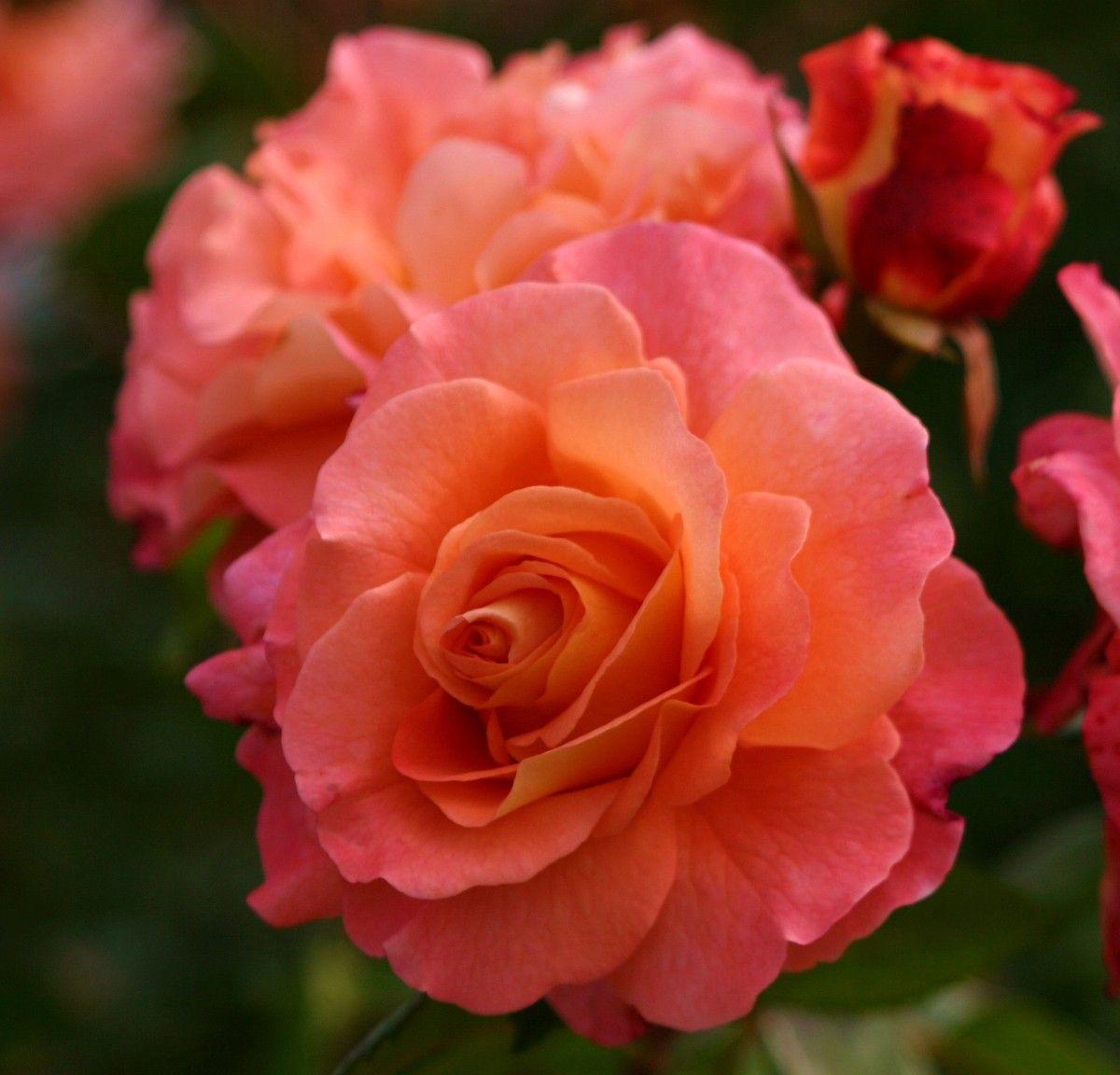 Augusta Luise Tantau Rosen Rosen Tantau Blumen
