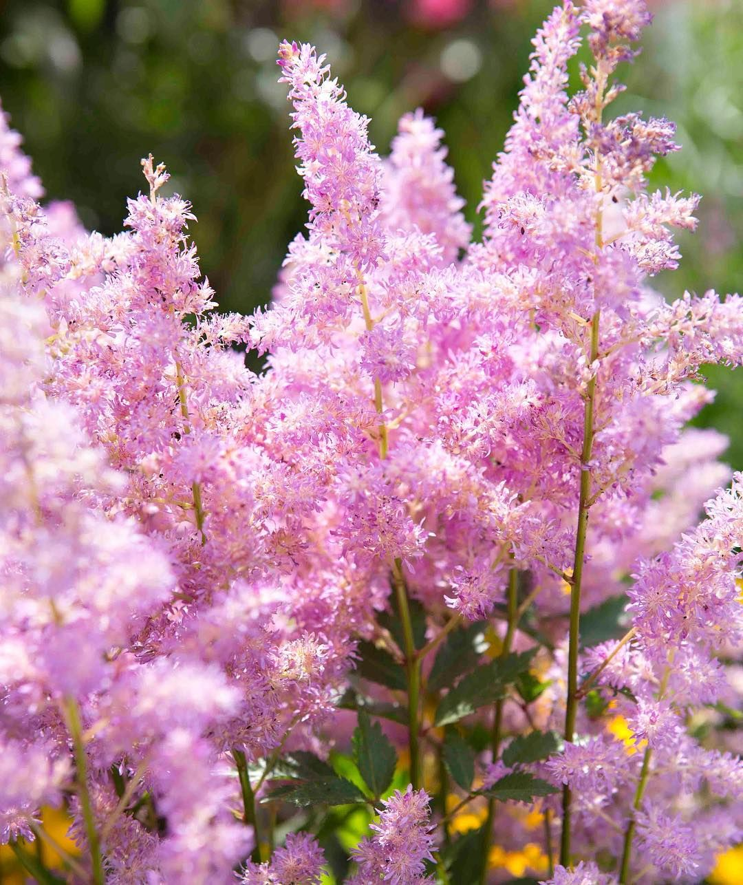 Astilbe Or Candyfloss With Images Planting Flowers Beautiful Flowers Garden
