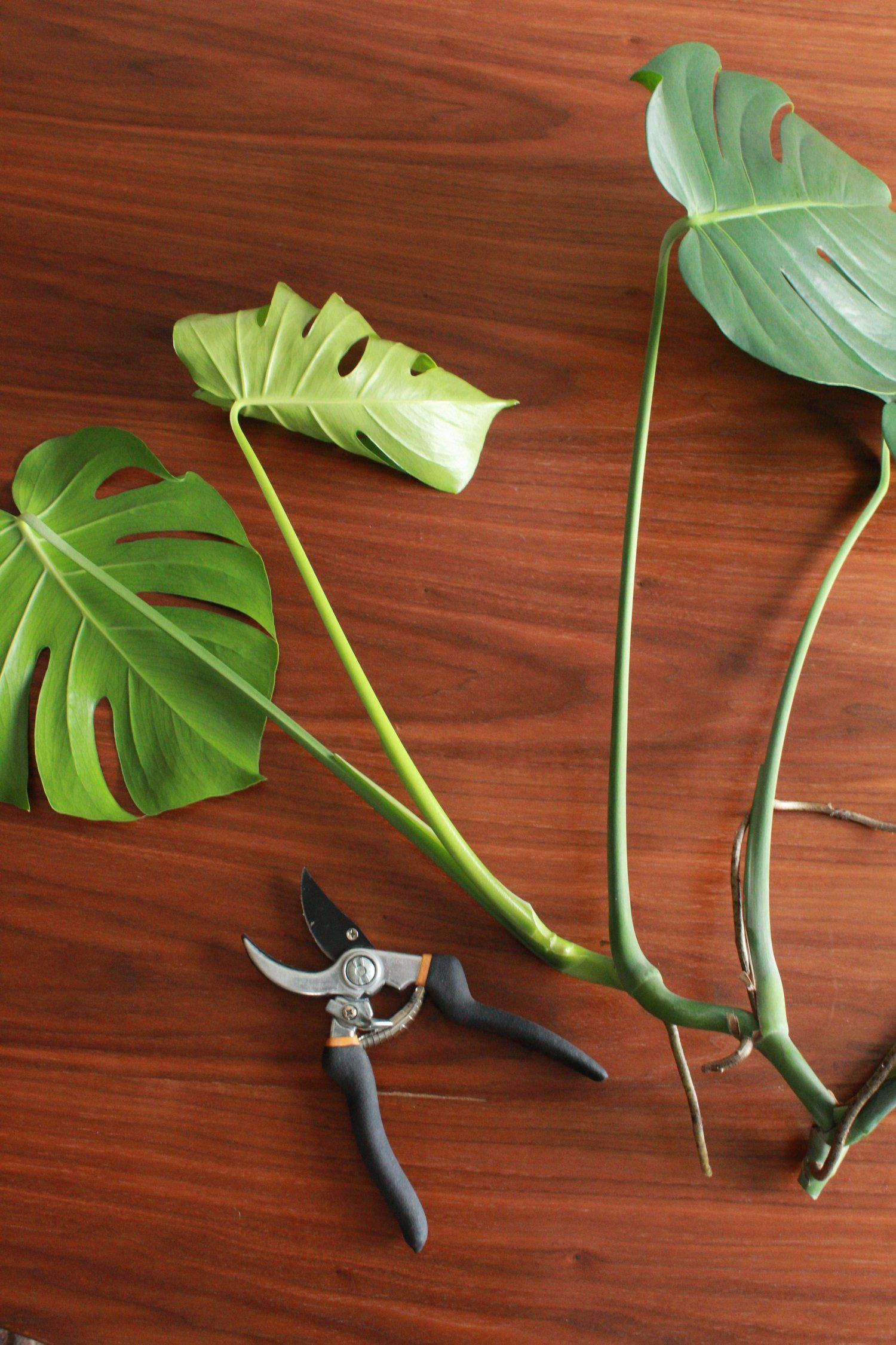 Good To Know How To Propagate A Monstera And Other Care Tips Carmeon Hamilton Plant Cuttings Propagating Plants Monstera