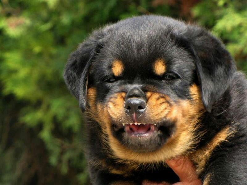 Rottweiler Puppy Is Already A Guardian With Images