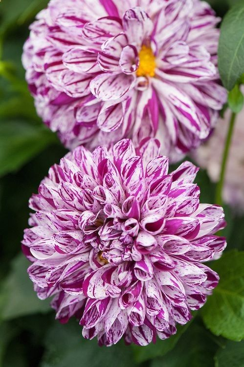 ~~Dahlia 'Marble Ball' ~ blooms early July by Alan Buckingham~~