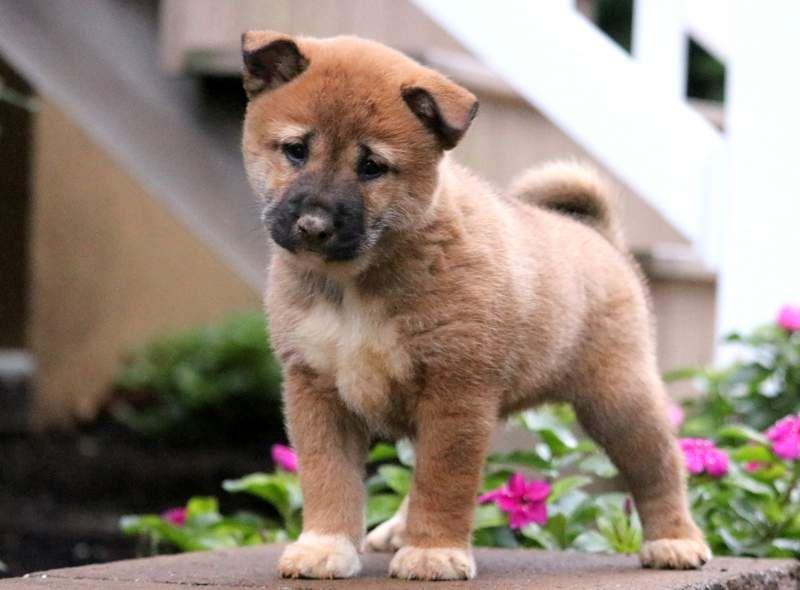 Wesley Shiba Inu Puppy For Sale Keystone Puppies Puppies
