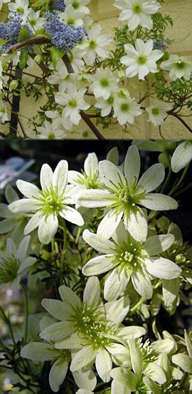 Clematis Early Sensation evergreen & scented flowers - flowers march/apr. Suitable for planting in containers