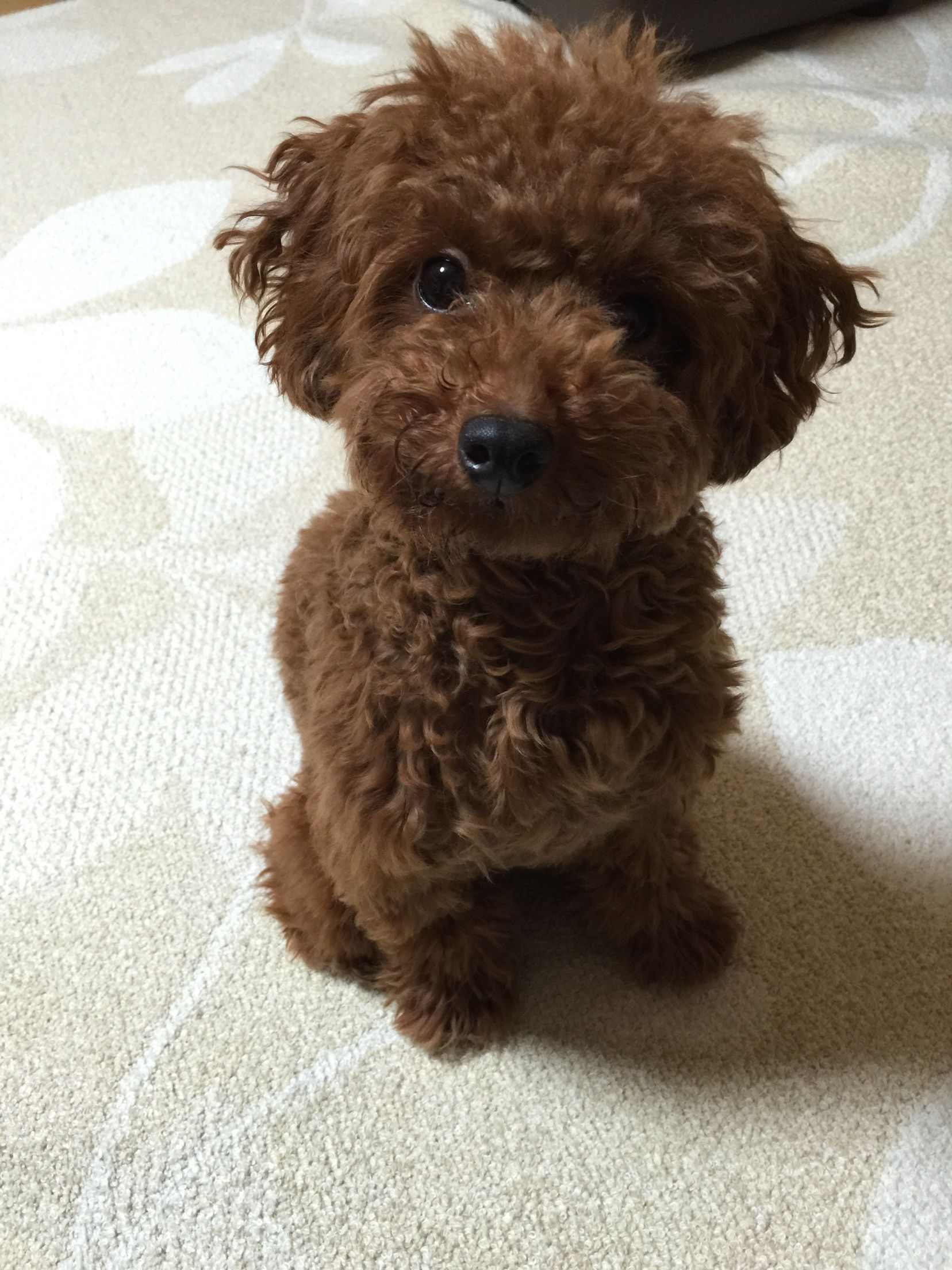 Pin By Terri Borkgren On Poodle 5 Puppies Poodle Animals