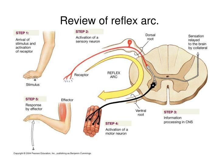 Proprioception and types of reflexes health movement posture proprioception and types of reflexes ccuart Gallery
