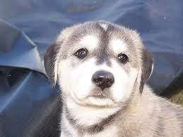 Adorable Husky Lab Mix Pup By Moon Seeker On Deviantart Lab Mix Puppies Husky Lab Mixes Husky Lab