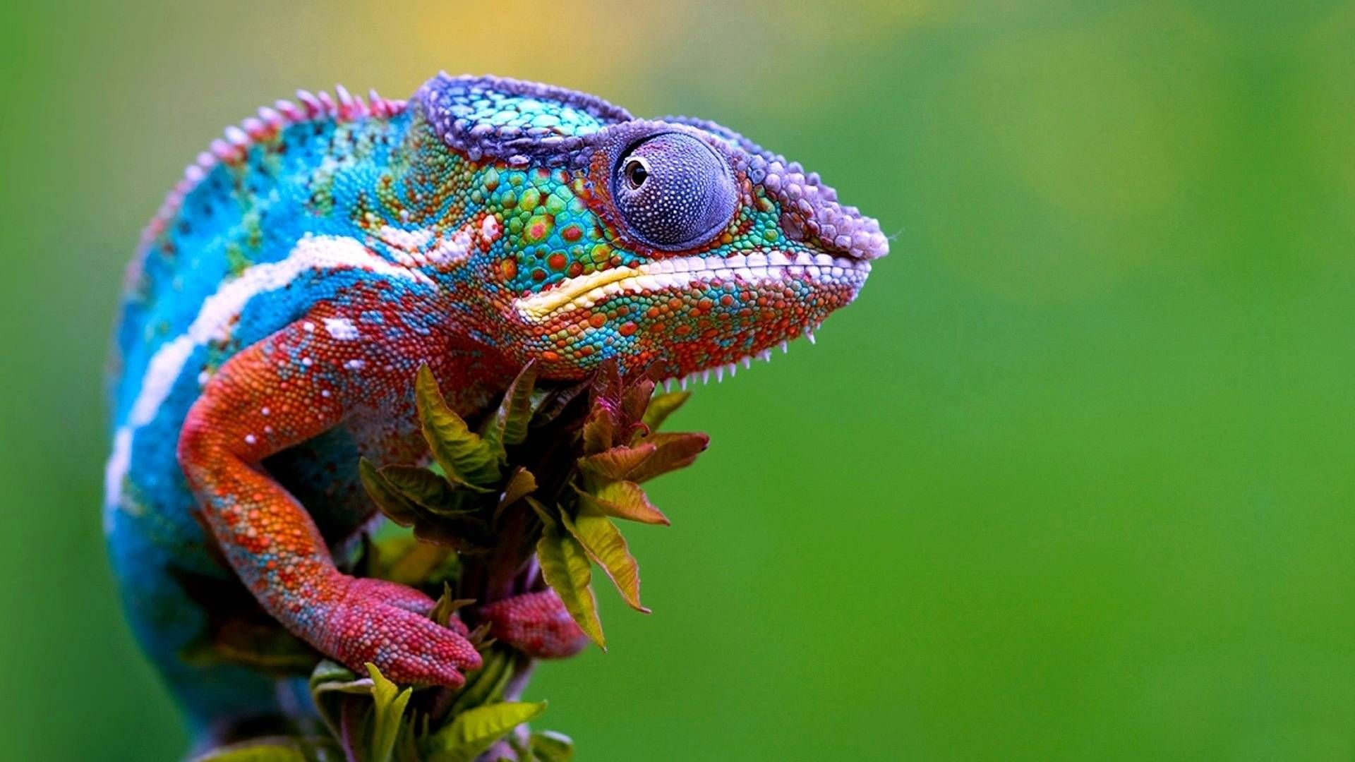 Colorful Colorful Male Chameleon Lizard Chameleons Family - Someone gave their chameleon a miniature sword to hold and now everyones joining in