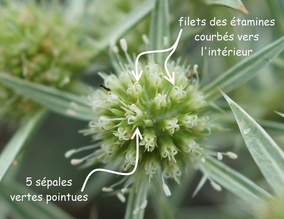 Fleurs de panicaut au début du mois de septembre