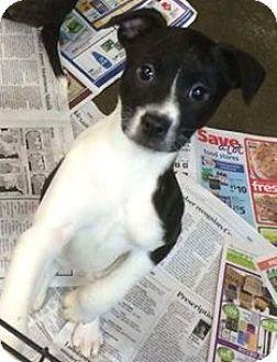Tenafly, NJ - Boston Terrier Mix. Meet Grace, a puppy for adoption. http://www.adoptapet.com/pet/12479234-tenafly-new-jersey-boston-terrier-mix