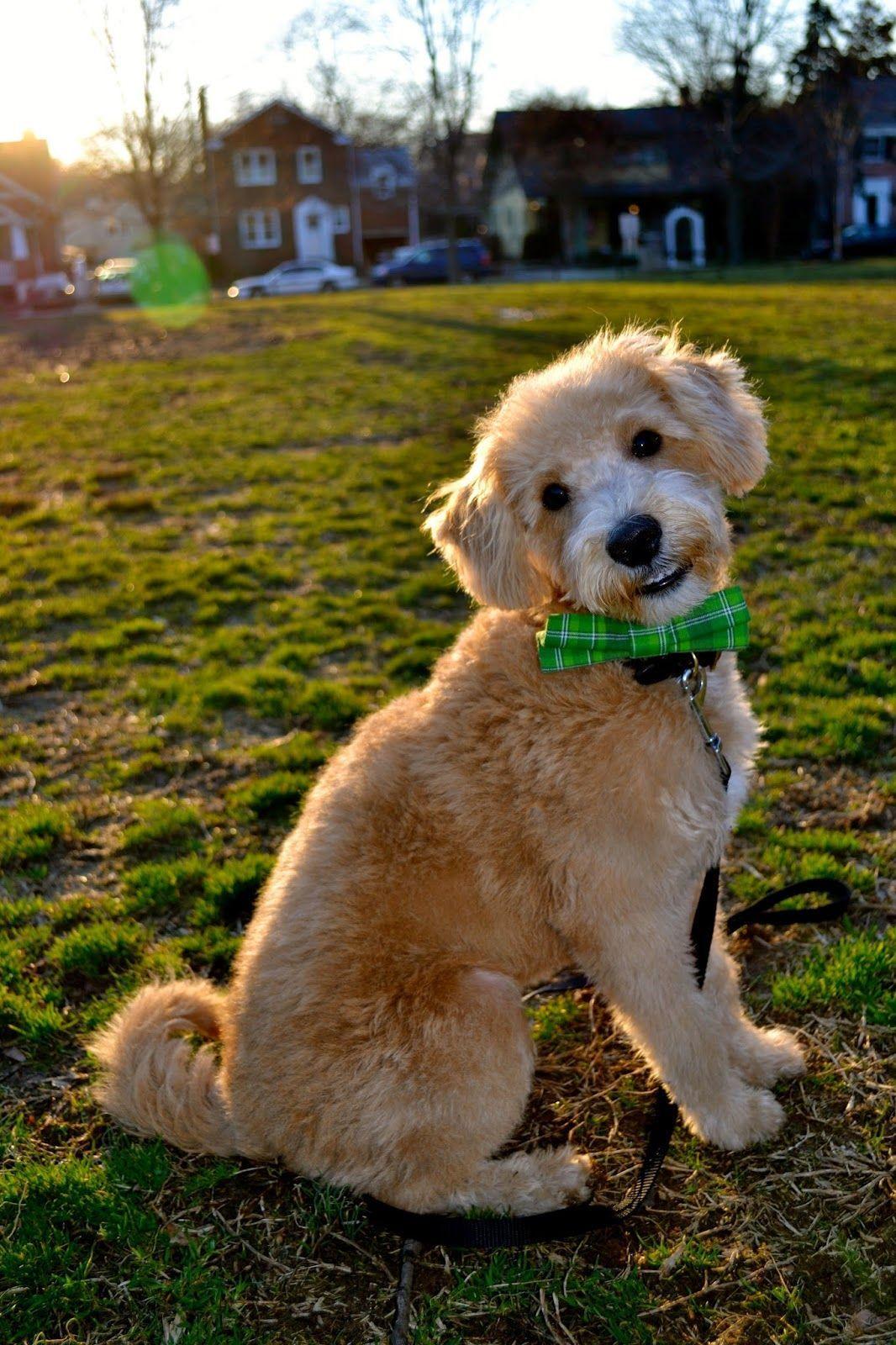 Virginia Breeder Of Schnoodle Puppies A Non Shedding