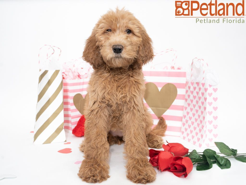 Puppies For Sale Goldendoodle puppy, Goldendoodle puppy