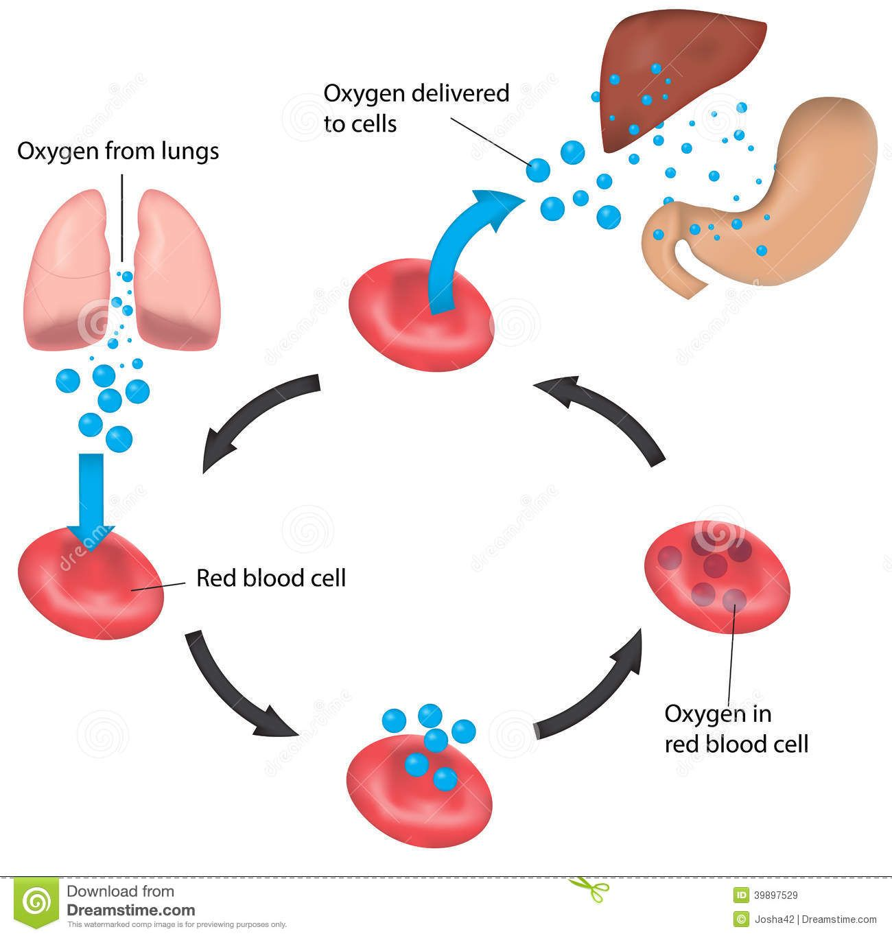 Haemoglobin Stock Illustrations Vectors Amp Clipart 126
