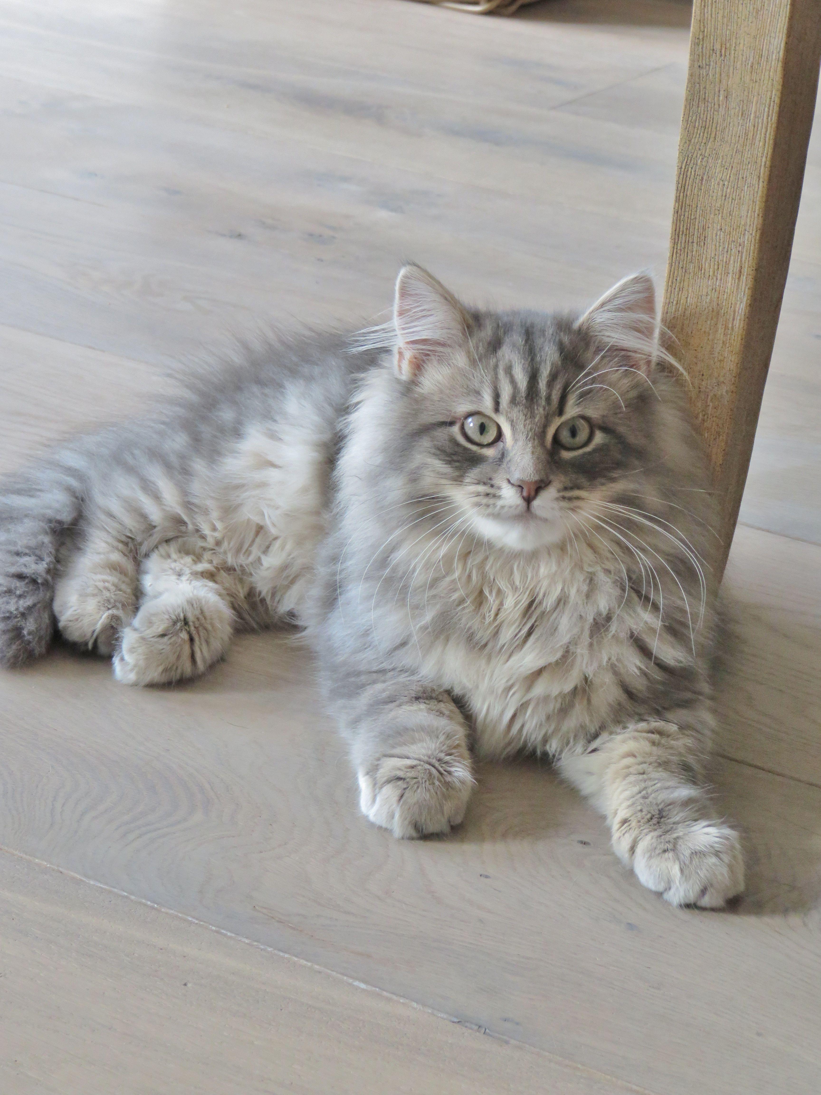 Best Images Ideas About Siberian Kitten Most Affectionate Cat