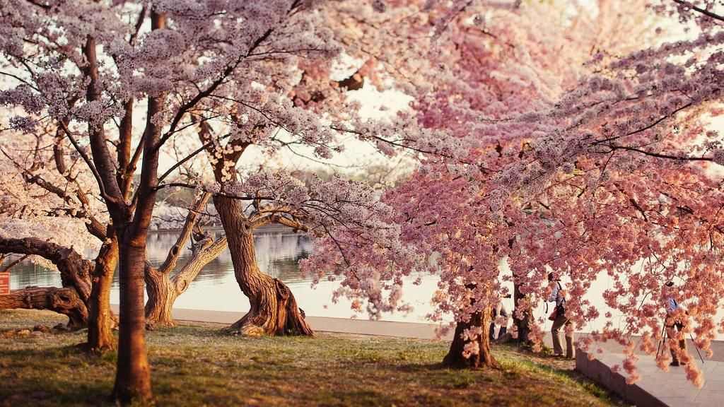 Lena On Twitter Cherry Blossom Wallpaper Amazing Nature Photos Cherry Blossom