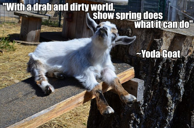 Yoda Goat Funny Memes Funny Funny Meme Pictures