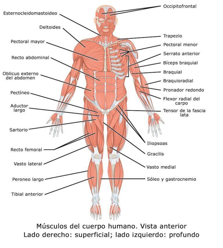 los musculos del cuerpo y sus partes