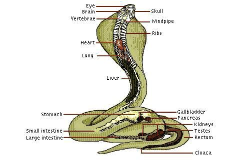 Cobra Anatomy Diagram 1 | spirit animal | Pinterest | Diagram