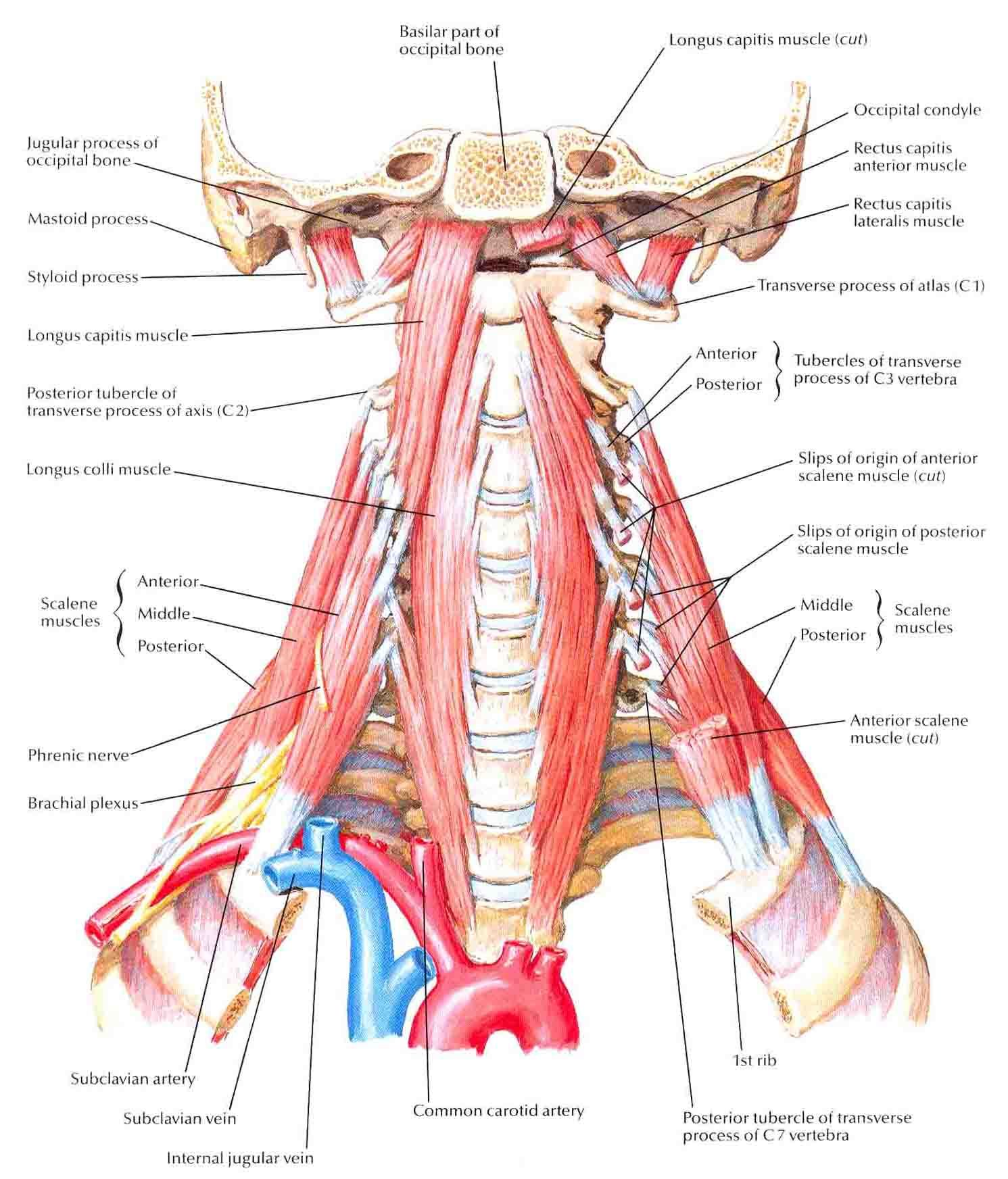 hight resolution of scalene and prevertebral muscles