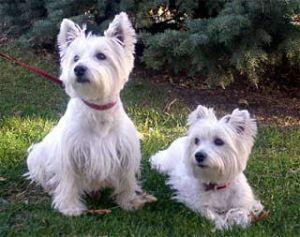 Seniors For Senior Is An Adoptable West Highland White Terrier