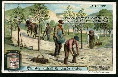 Artifically Seeding Truffles Farming NEAT c1910 Card