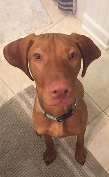 Vizsla Puppy For Sale In Virginia Beach Va Adn 28514 On Puppyfinder Com Gender Male Age 7 Months Old Vizsla Vizsla Puppies For Sale Vizsla Puppies