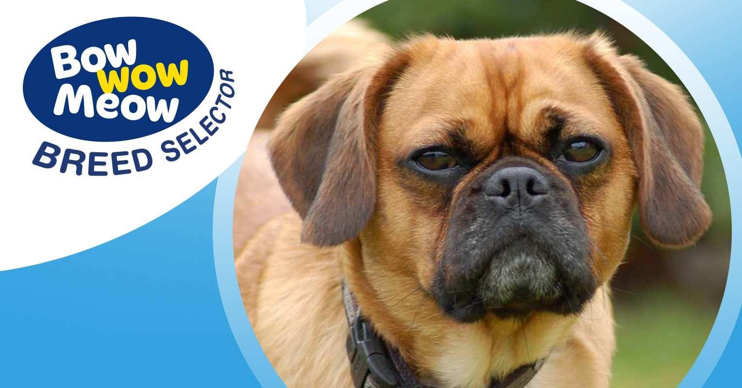 Pugalier Dog Breed Profile Dog Breed Selector Dog Breed Selector Dog Breeds Pugalier