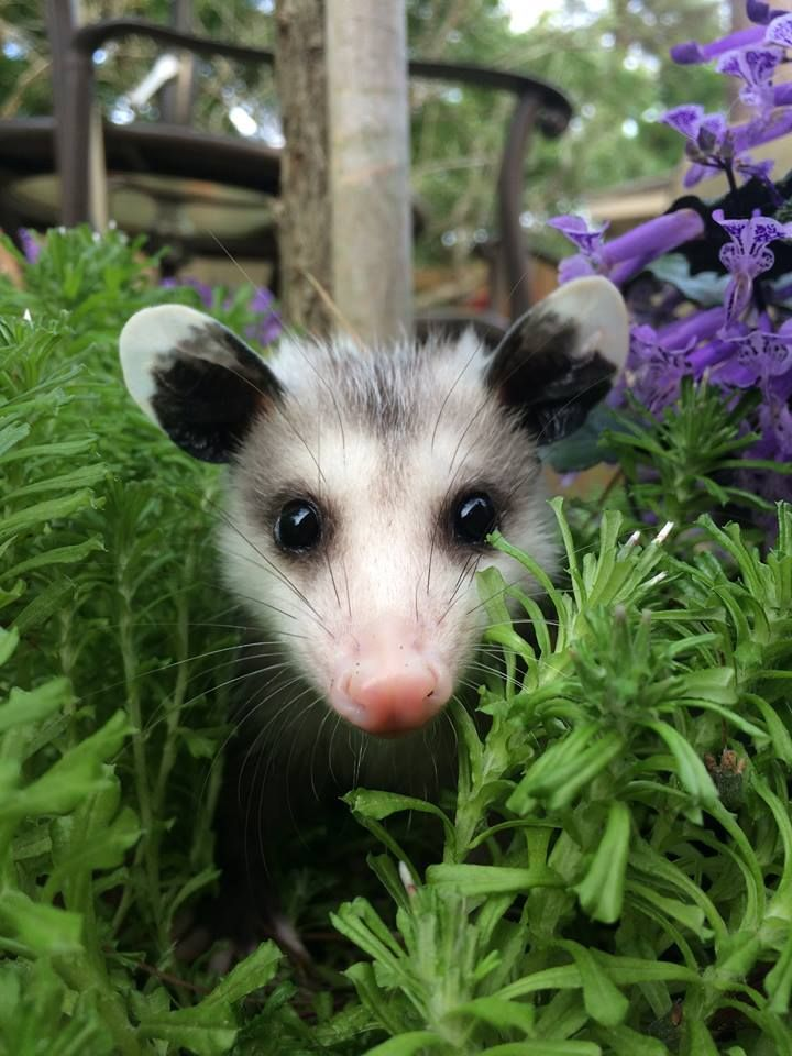 Unlike more finicky species, opossums don't require special