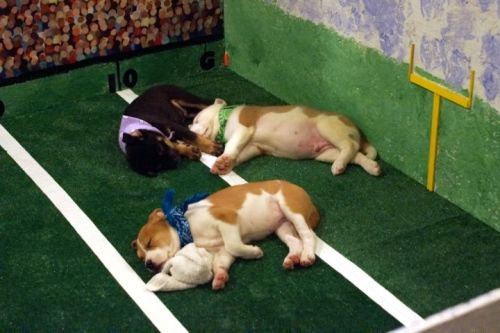 Petplace03cut 01 The Puppies For The Puppy Bowl Didn T Make It To Halftime Before Having To Nap During The Casino Night Fundraiser For Th Pets Cat Food Dogs