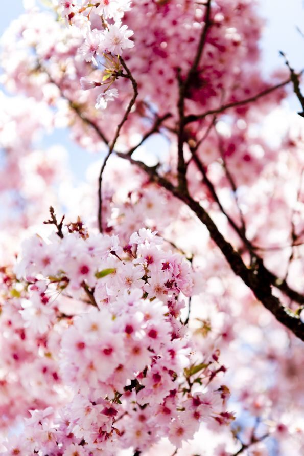 Where To See Cherry Blossoms In The Usa Travel Usa Cherry Blossom America Travel