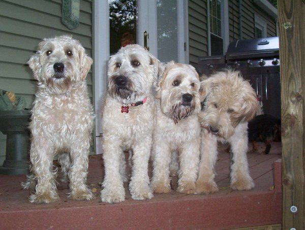 Soft Coated Wheaten Terrier Puppies Soft Coated Wheaten Terrier