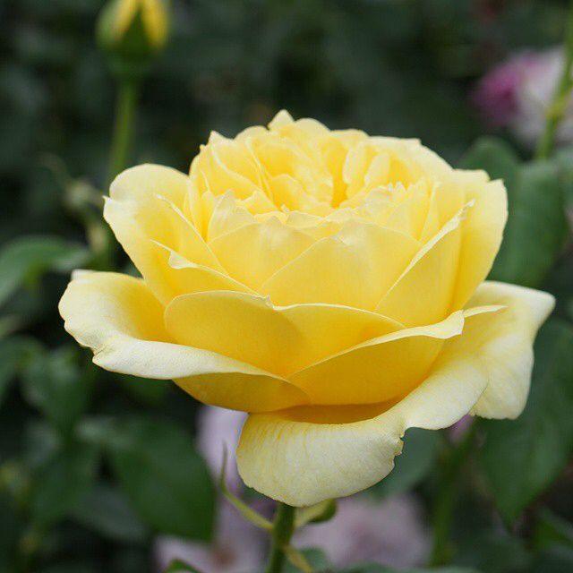 おはようございます! +1011  Good morning my friends!   『 #スブニール ドゥ マルセルプルースト』 #Souvenir de Mareel Proust  今日も薔薇をお届け♪  マルセル ブルーストの思い出という意味 有名な小説家の名前に因んでます♪ 美しい黄色ですね❤❤  France Delbard 1993年作出 #大野町バラ公園 にて  今日はお休み(^-^) ゆっくりスタートです。 1日宜しくお願いします(^-^)  いつもありがと