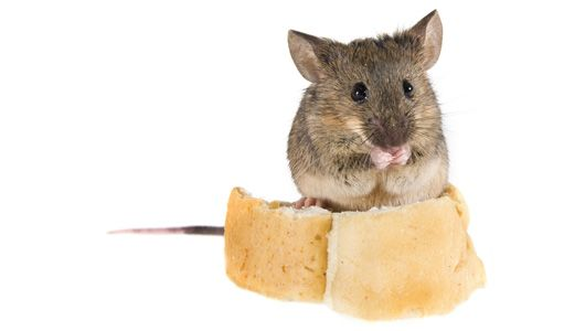 How To Get Rid Of Mice Without Poisons Or Traps Getting Rid Of