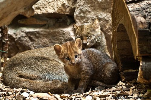 Jaguarundi Cub and its Mother by =amrodel.
