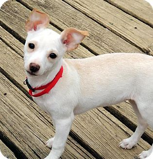 Virginia Beach Va Rat Terrier Meet Avery Va A Puppy For