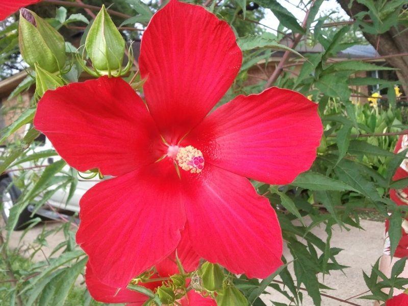 Texas Red Star Hibiscus Hardy Gardening Hibis
