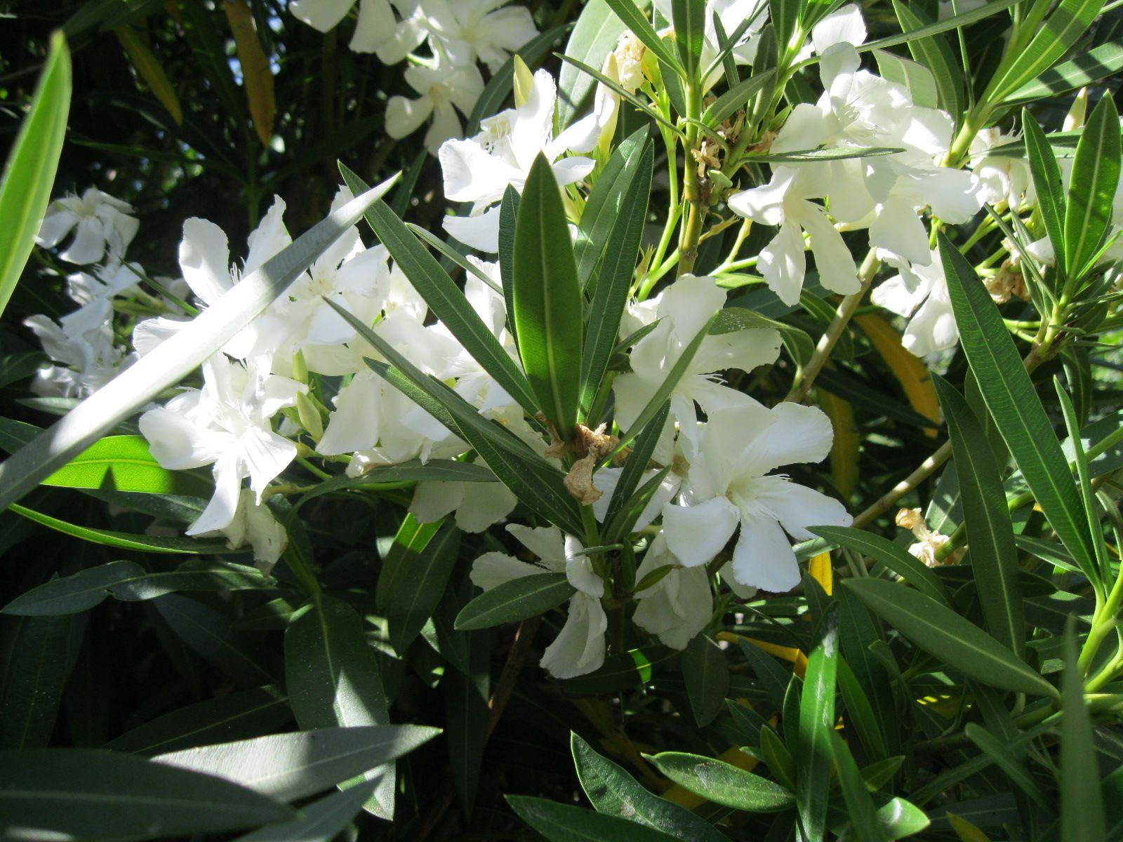 Pflege Oleander Nerium Nerium Oleander White Moderate Growing Shrub For Hedge Or Screen