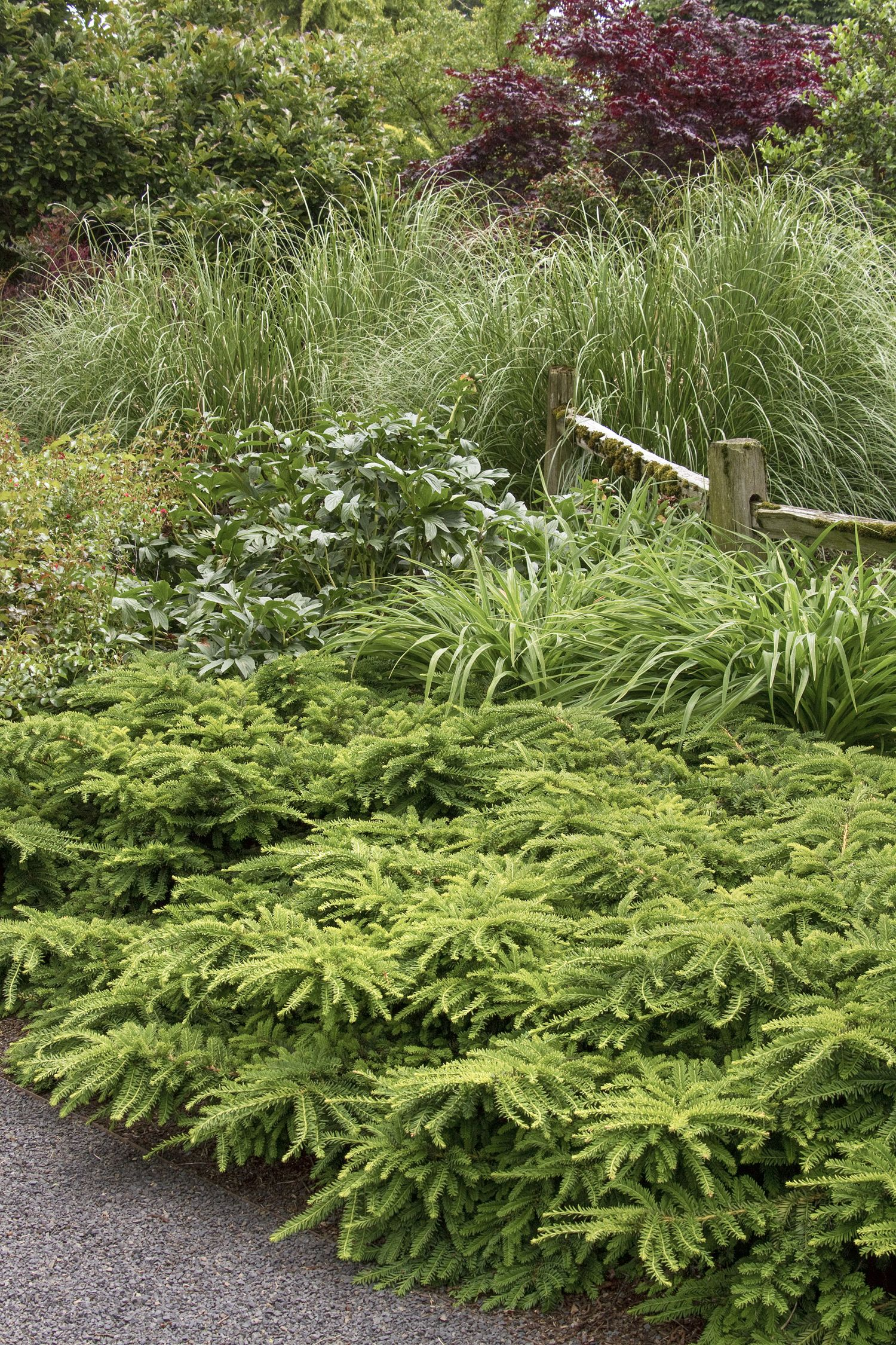 The Ideal Low Maintenance Choice For Large Scale Groundcover Embankment Plantings Or Low Hedges Retains Da Perennial Garden Plans Japanese Yews Garden Shrubs