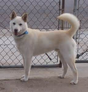 The Number One Article On Buy Puppy Singapore Jindo Dog Buy