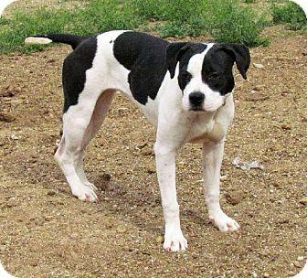 San Tan Valley Az American Bulldog Boxer Mix Meet Dot A Dog